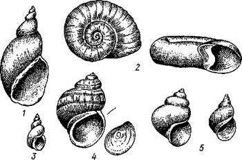 моллюски в рисунках